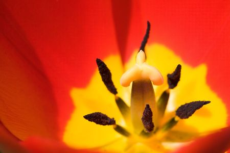 Red tulip detail   photo