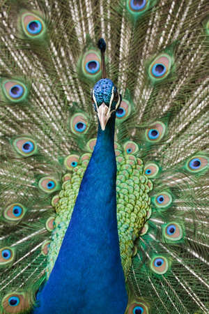 A peacock displays his tail feathers at Funchal Botanical Gardens, Madeira Stock Photo - 4832781