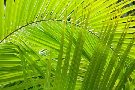 palm frond: Dettagli Palm fronda ideale per uno sfondo giungla