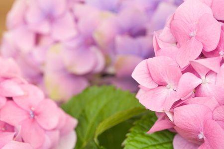bigleaf hydrangea: Close up of pink hydrangea flowers Stock Photo