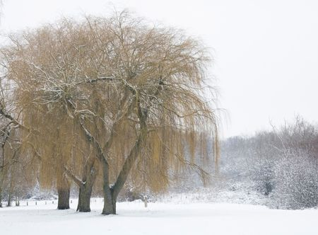 Winter scene with willow trees covered in snow photo