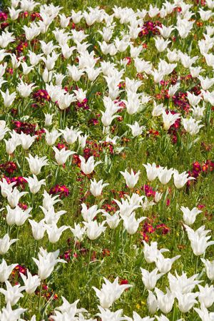 Flower bed of white tulips and red primroses photo