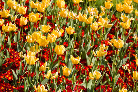 Red primroses and yellow tulips in a flower bed photo
