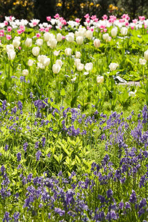 Tulips and bluebells in a flower garden photo
