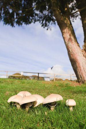 Edible mushrooms growing in a green meadow on farmland photo