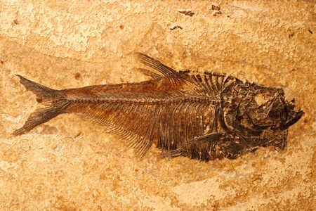 petrified fossil: Fossilized fish on a sandstone background Stock Photo