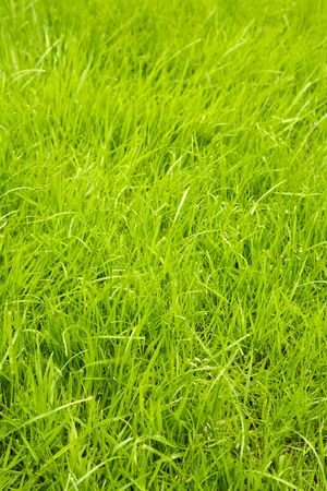 Fresh and healthy green grass photo