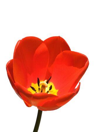 whitespace: Tulip isolated against a white background Stock Photo