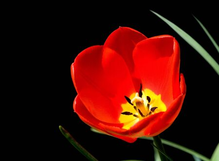 Red tulip isolated on a black background Stock Photo - 5071836
