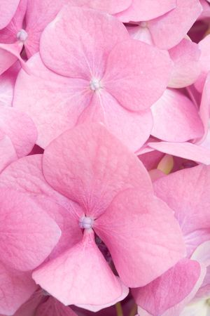 bigleaf hydrangea: Detail of pink hydrangea flower petals ideal for a floral background