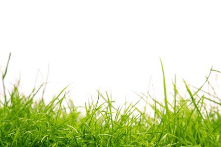 Grass isolated against a white background with copy space photo