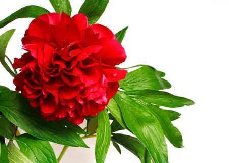 Red peony (paeonia, latin name Paeoniaceae) isolated on a white background Stock Photo - 5198936