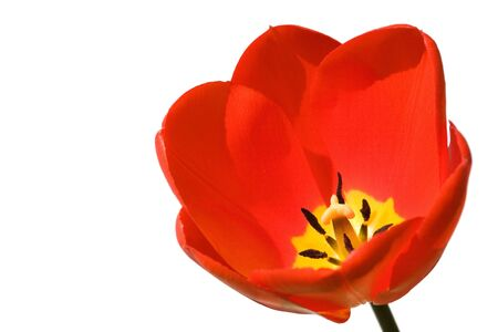 Tulip isolated against a white background photo