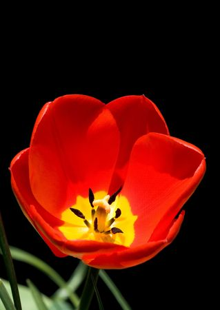 Tulip isolated on a black background photo