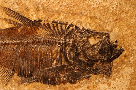 petrified fossil: Detail of a fossil Eocene fish on a textured sandstone background Stock Photo