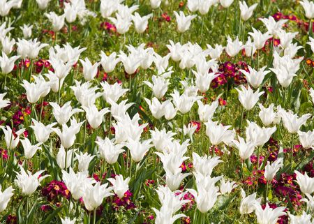 polyanthus: Flower bed of white tulips and red primroses
