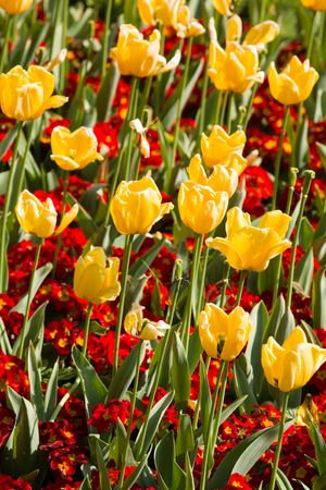 polyanthus: Red primroses and yellow tulips in a flower bed