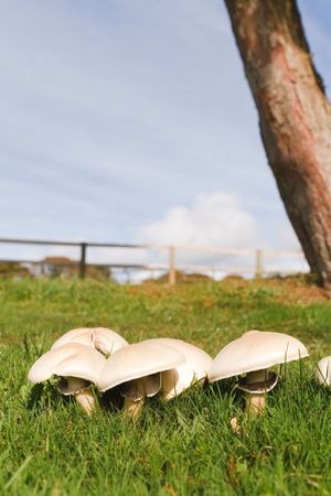 Edible mushrooms growing wild in a meadow photo