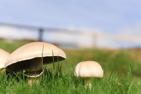 Edible mushrooms growing wild in grass photo