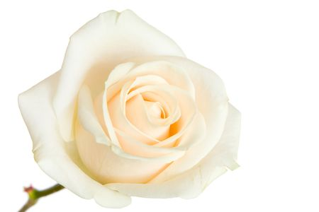 White rose isolated against a white background Stock Photo - 6125425