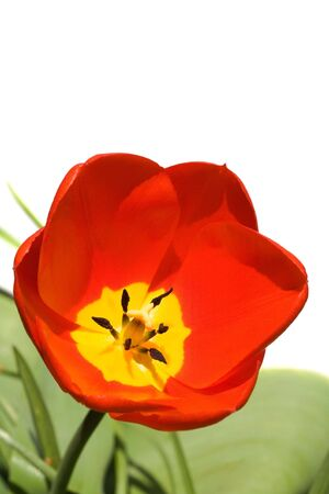 Red tulip isolated against a white background photo