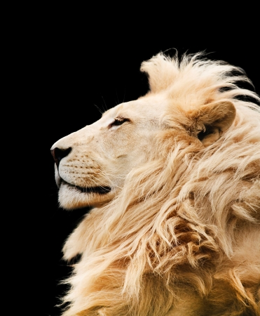 cropped out: Lion Stock Photo