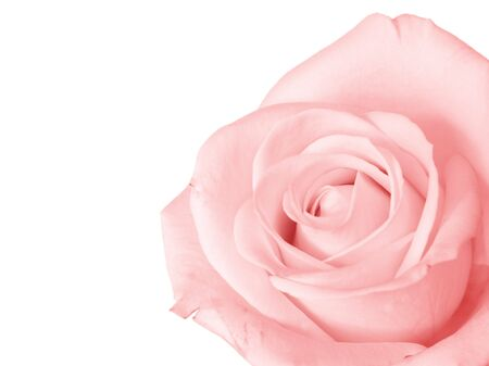 cropped out: Pink rose isolated against a white background Stock Photo