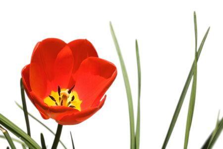 whitespace: Red tulip isolated against a white background Stock Photo