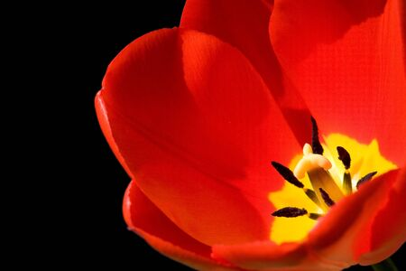 beautiful red tulips close up: Red tulip isolated on a black background
