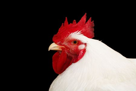 cropped out: Closeup of a white roosters head isolated against a black background