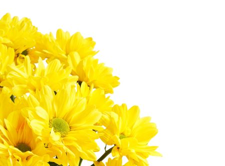 A bunch of yellow chrysanthemums isolated agianst a white background with copy space photo