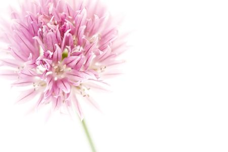 Chive flower isolated on white with copyspace to the right photo