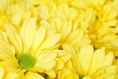 Closeup of a bunch of yellow chrysanthemums photo
