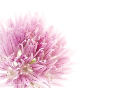 Closeup of pink allium flower with copyspace, ideal for a floral background or template photo