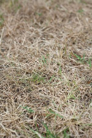 wilting: Closeup of dead grass in a garden lawn during drought Stock Photo
