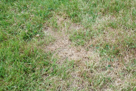 wilting: Garden lawn with unhealthy brown dead patches