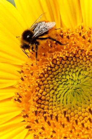 Macro of a bee on a sunflower head photo
