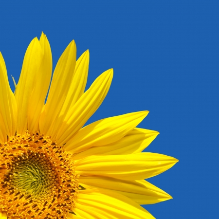 cropped out: Sunflower template with sunflower in the corner with lots of blue sky. The blue is a solid colour, easily extended.