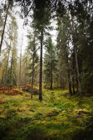 Conifer trees in a lush green forest in Scotland Stock Photo - 9311464