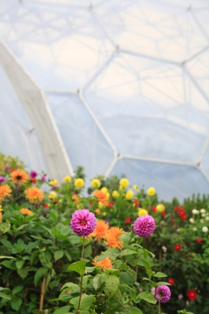 Dahlia flowers with biome greenhouses in the background photo