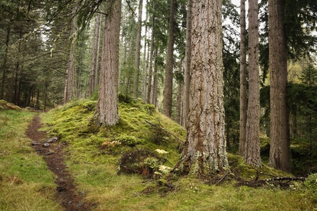A path disappears into the distance in a pine forest in Scotland photo