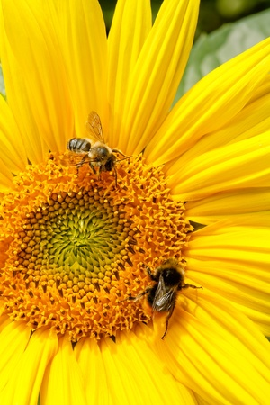 Sunflower closeup with bumble bee and honey bee collecting nectar photo