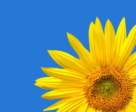 Cropped sunflower design with copy space on a blue sky background. The blue is a solid colour, easily extended. photo