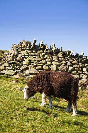 langdale: A herdwick sheep grazes beside a drystone wall in Langdale, Lake District, Cumbria, UK