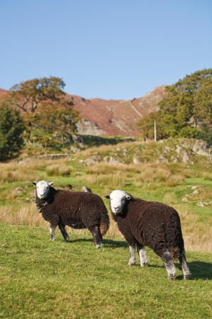 Two Herdwick sheep graze on a hillside in Langdale, Lake District, Cumbria, UK photo