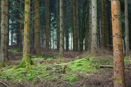 tall tree: Small clearing in a dense evergreen forest in England.
