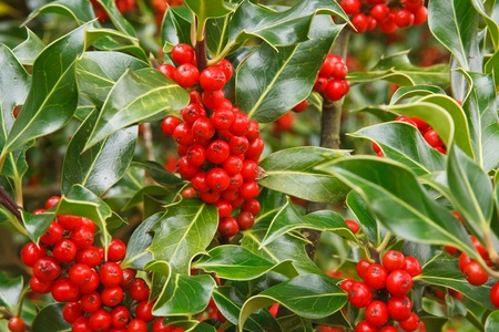 red bush: Closeup of ripe red berries on a holly bush Stock Photo