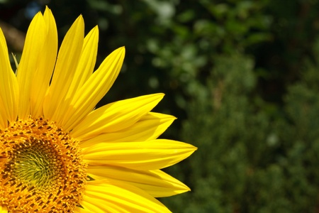 Sunflower in a garden with lots of copyspace photo