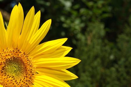 flowerhead: Sunflower in a garden with lots of copyspace