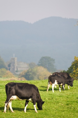 lake district england: A herd of friesian cattle graze in a field in British countryside in the Lake District, Cumbria, UK
